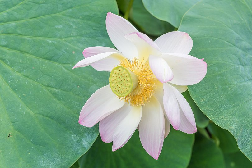 Botanischer Garten Erlangen - Lotusblume