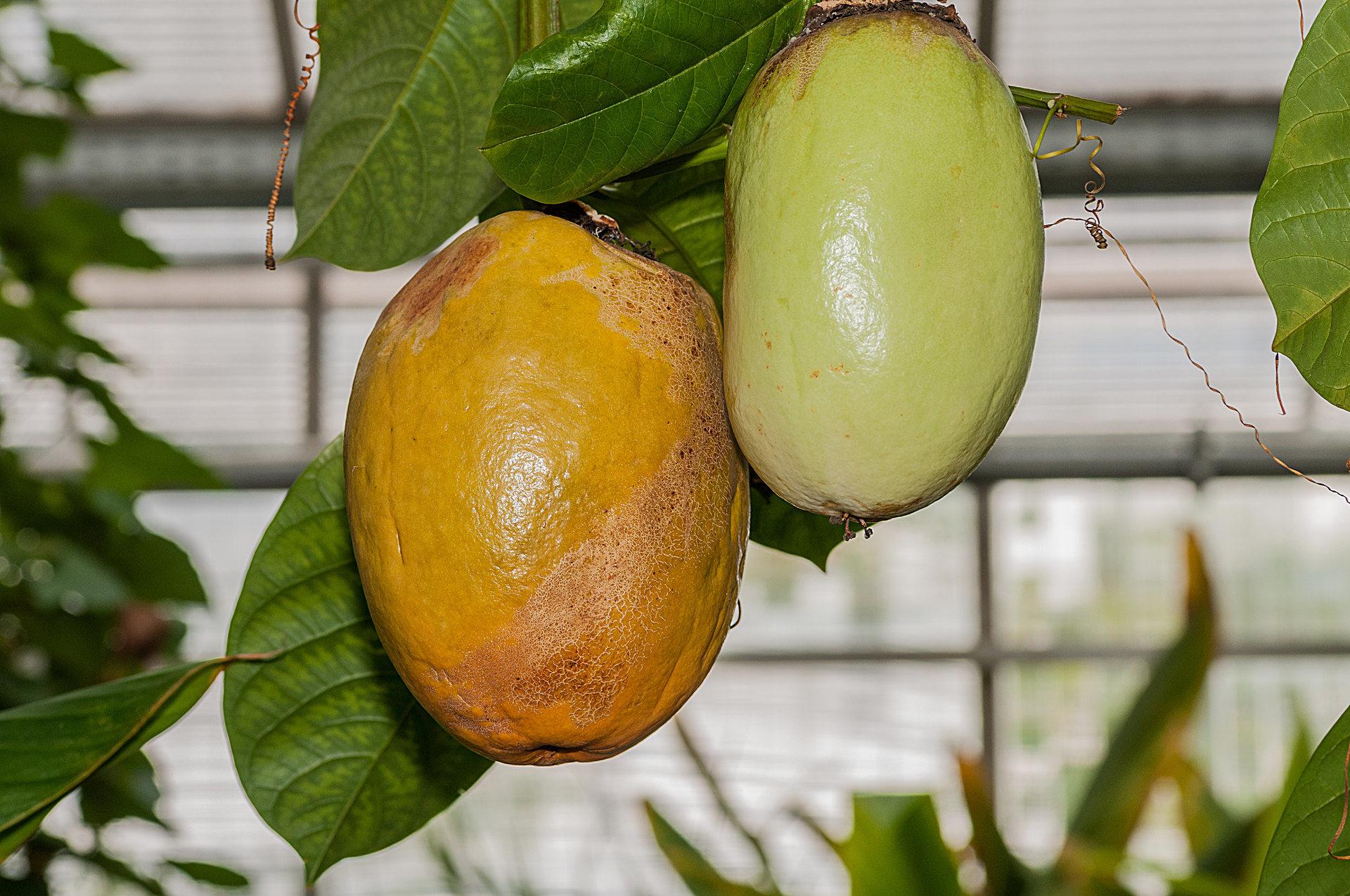 2017 Teakbaum Im Tropischen Regenwald
