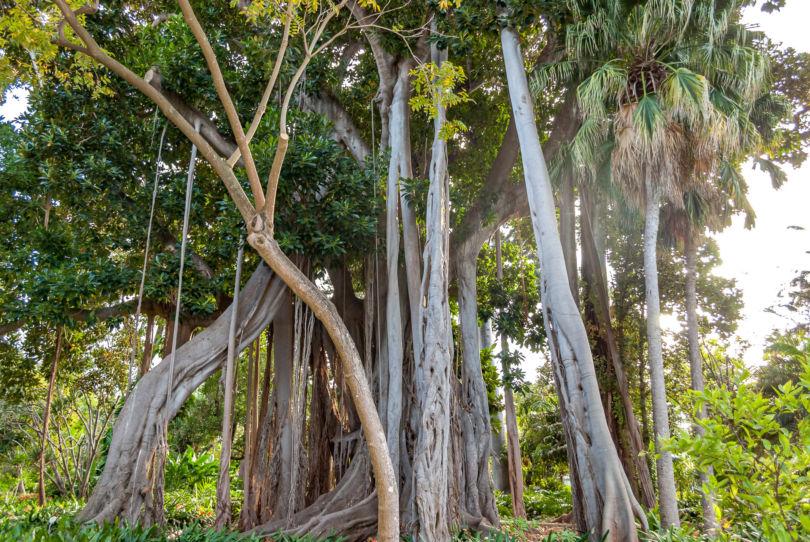 200 Jahre alte Würgefeige im Botanischer Garten in Puerto de la Cruz auf Teneriffa