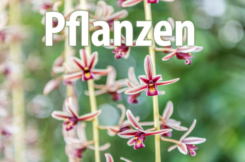 Pflanzen - (hier: Cymbidium-finlaysonianum)
