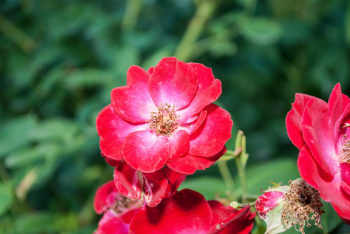 Rosensorten